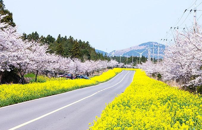 Jeju-Cherry-Blossom-Festival-seasonal