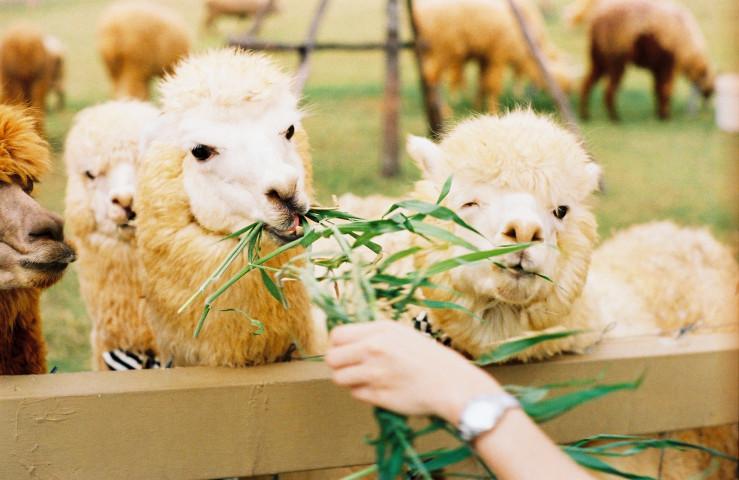 alpaca primo plaza_